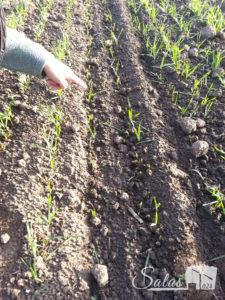 Bauljar stete u polju