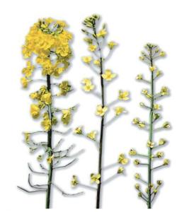 Sumpor nedostatak cvet